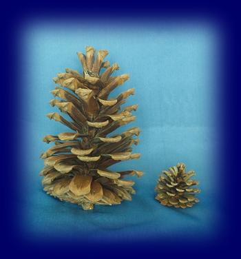 大王松の実(大きな松ぼっくり) 大きい松ぼっくり 自然物やネイチャーコーナー用小物